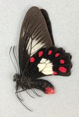Pachliopta polydorus lascarus M A1- Papua New Guinea
