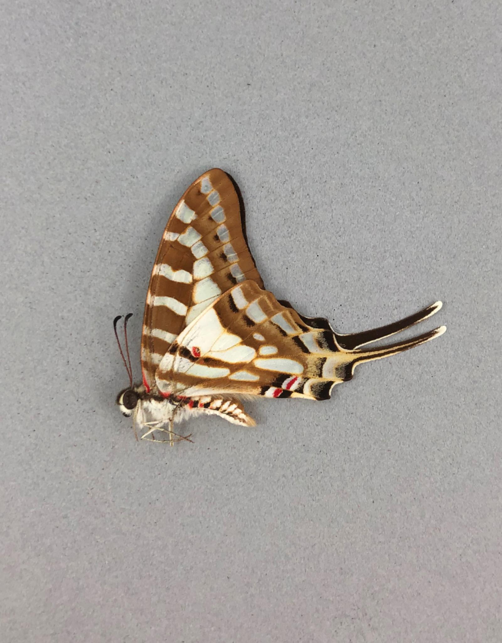 Graphium evombar M A1 Madagascar