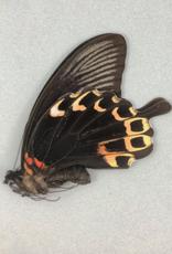 Papilio deiphobus deiphontes M A1 Indonesia