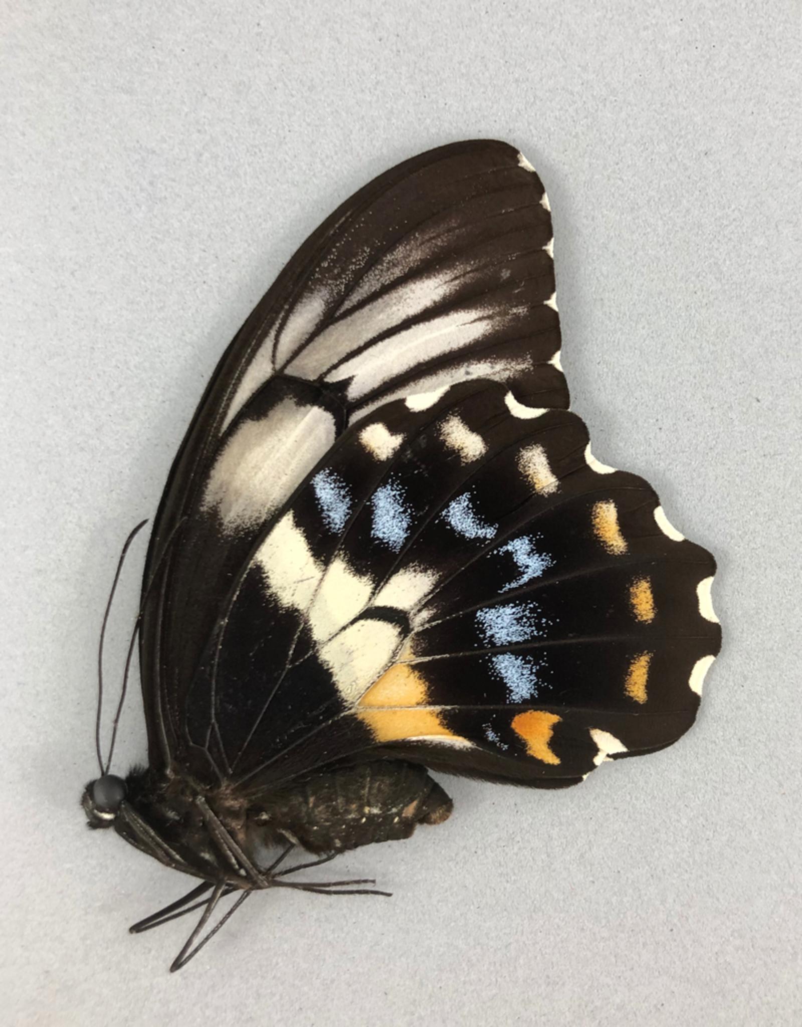 Papilio gambrisius gambrisius F A1/A1- Indonesia