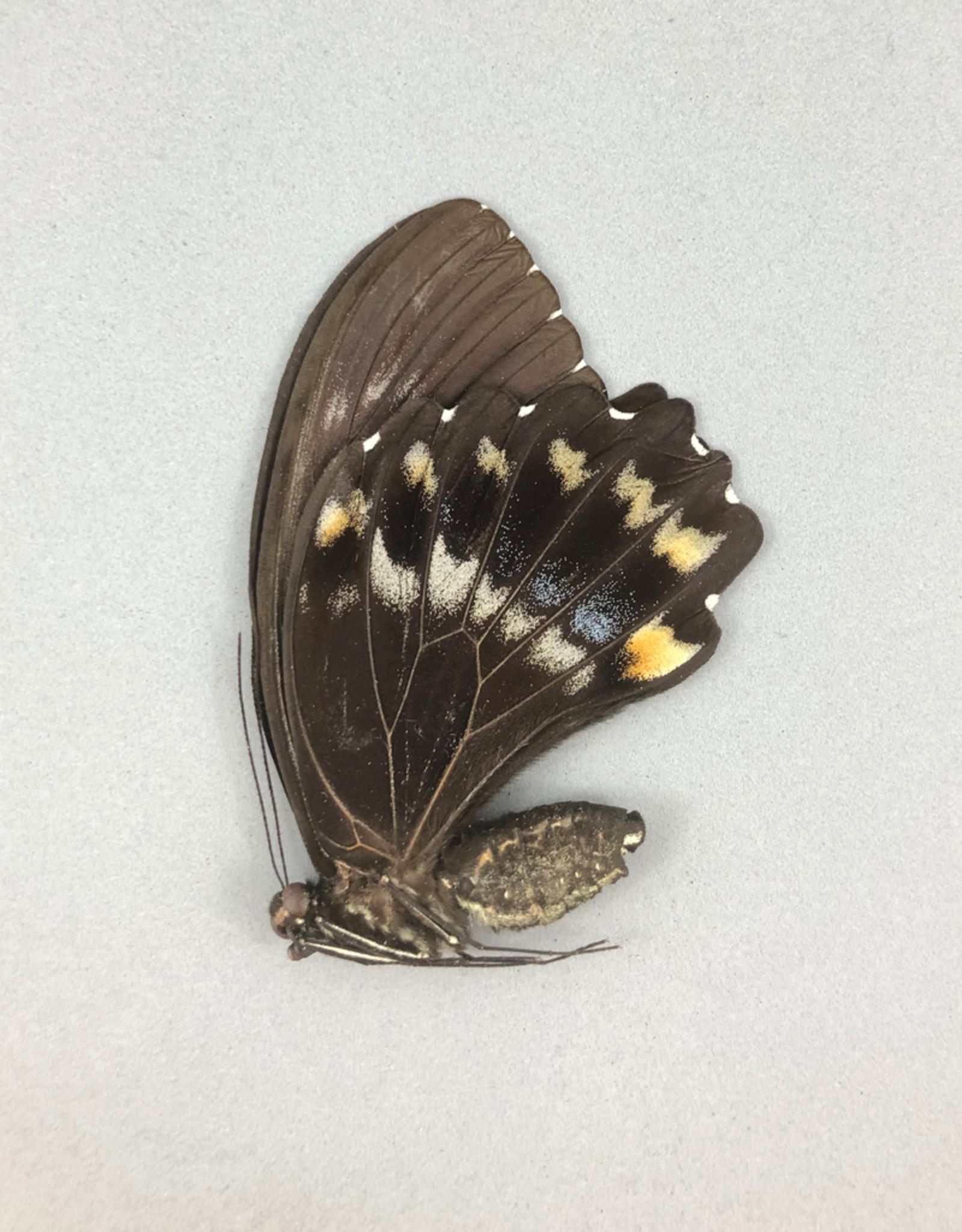 Papilio woodfordi woodfordi F A1 PNG
