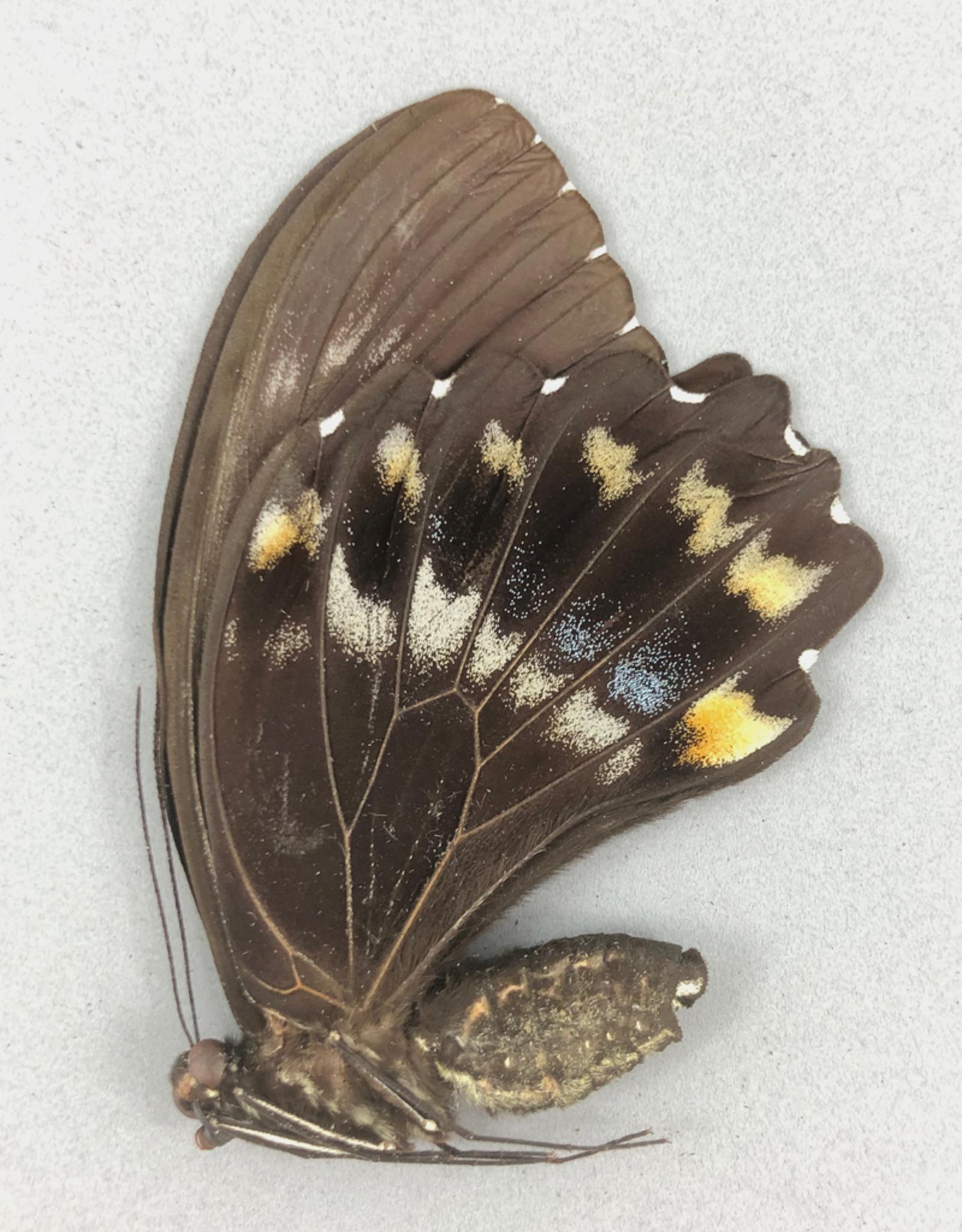 Papilio woodfordi woodfordi F A1- PNG