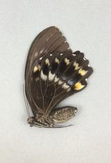 Papilio woodfordi woodfordi F A1/A1- PNG