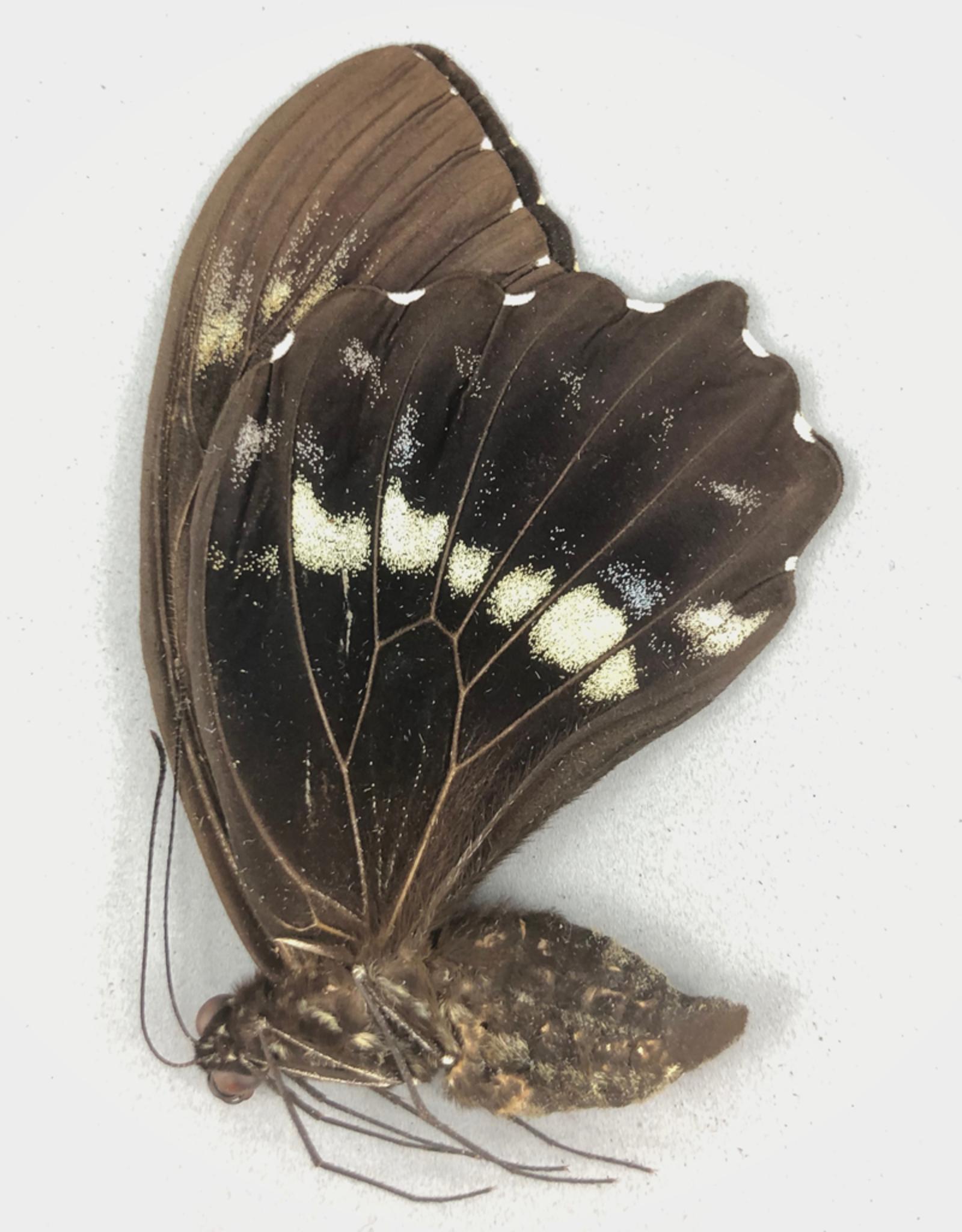Papilio woodfordi woodfordi M A1 PNG