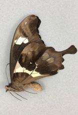 Papilio hesperus M A1 CAR