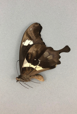 Papilio hesperus M A1- CAR