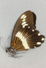Papilio gallienus M A1 CAR