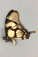Eurytides dolicaon deileon M A1 Peru