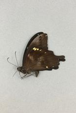 Papilio epiphorbas M A1 Madagascar