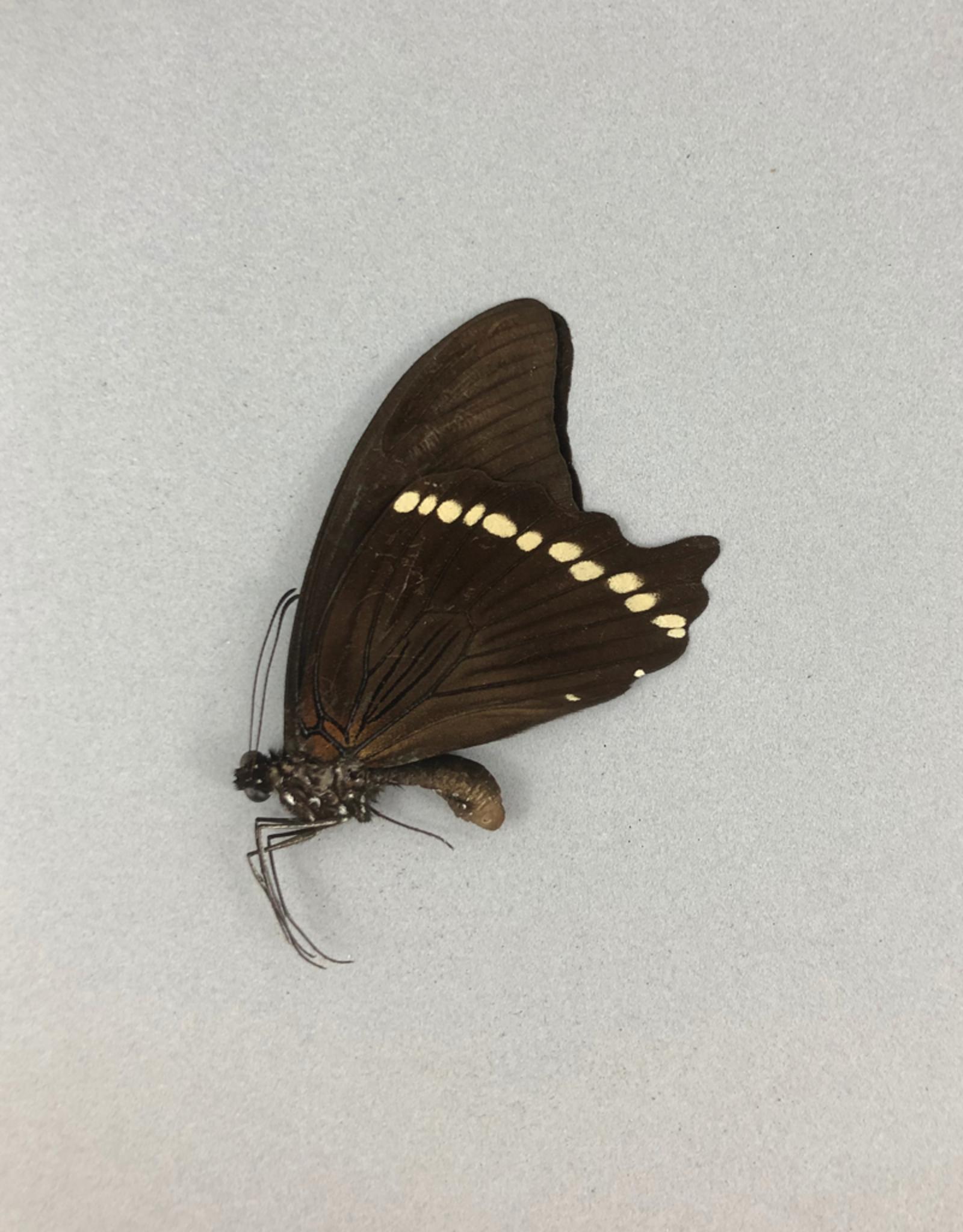 Papilio bromius M A1 CAR