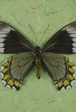 Battus madyes chlorodamas M A1 Peru