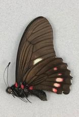Eurytides harmodius inaus M A1 Peru