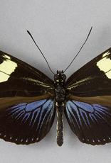 Heliconius doris f. doris M A1 Peru