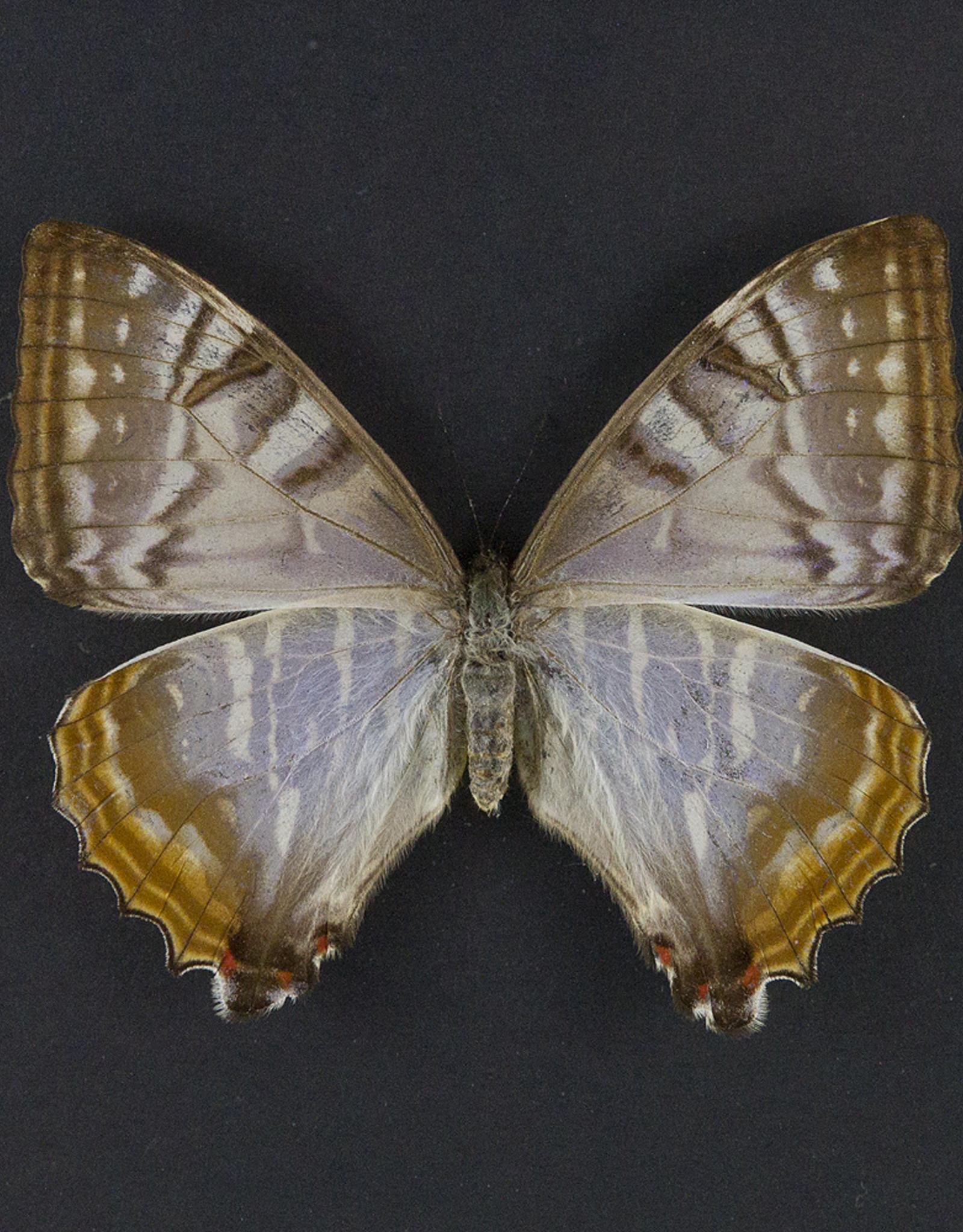 Morpho sulkowskyi selenaris F A1 Peru