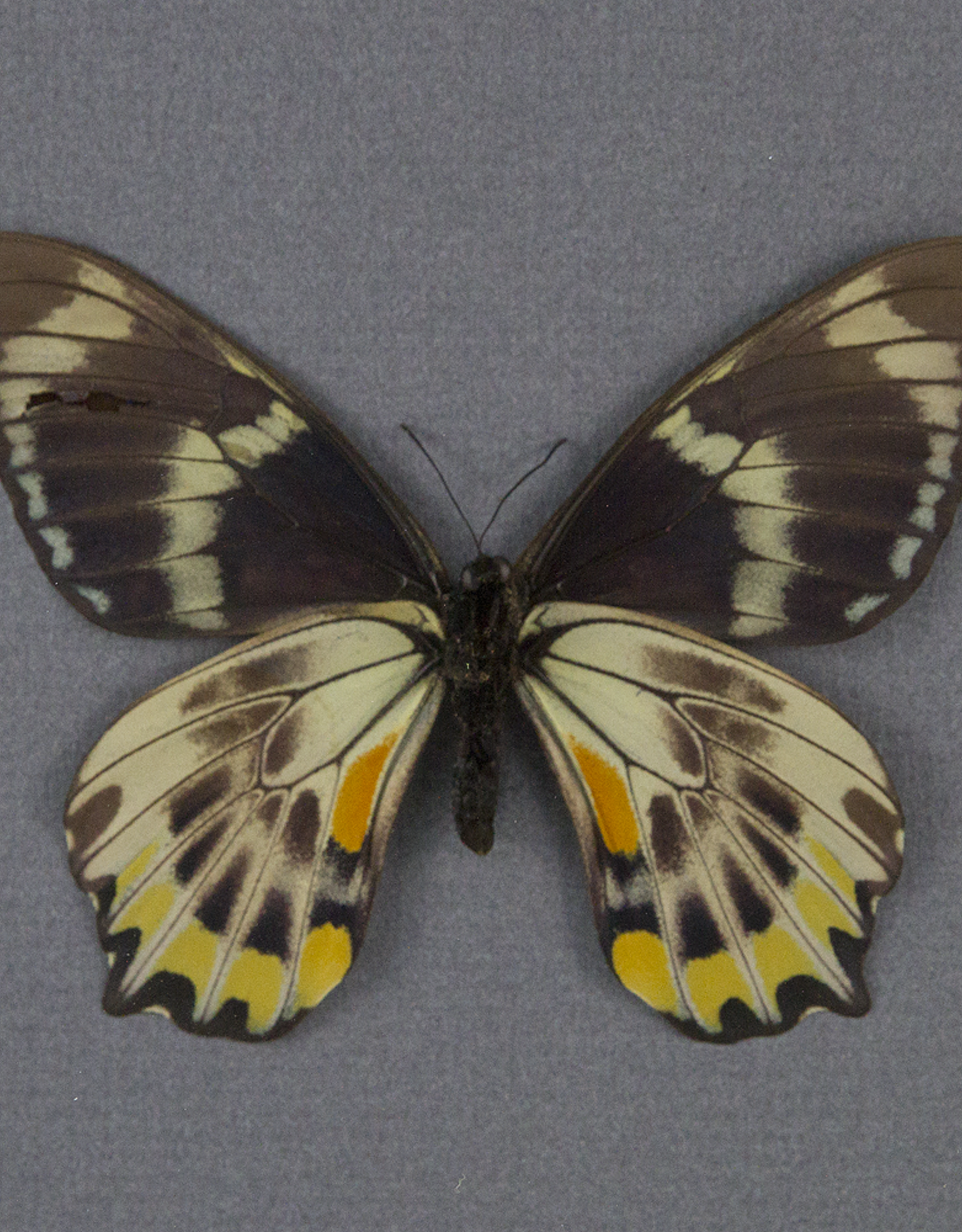 Papilio toboroi F A1- Solomon Islands