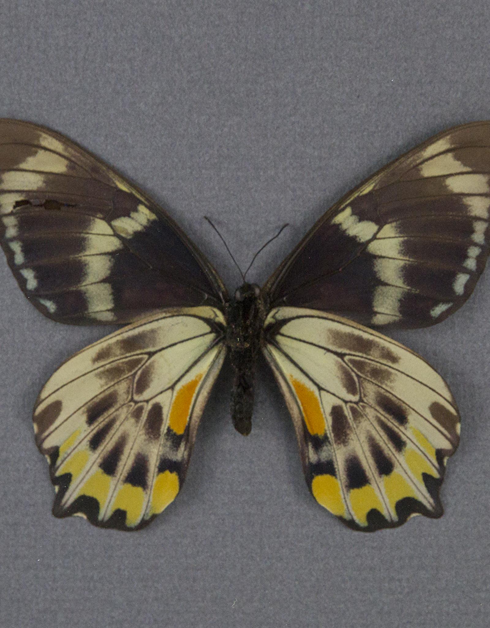 Papilio toboroi PAIR A1- Solomon Islands