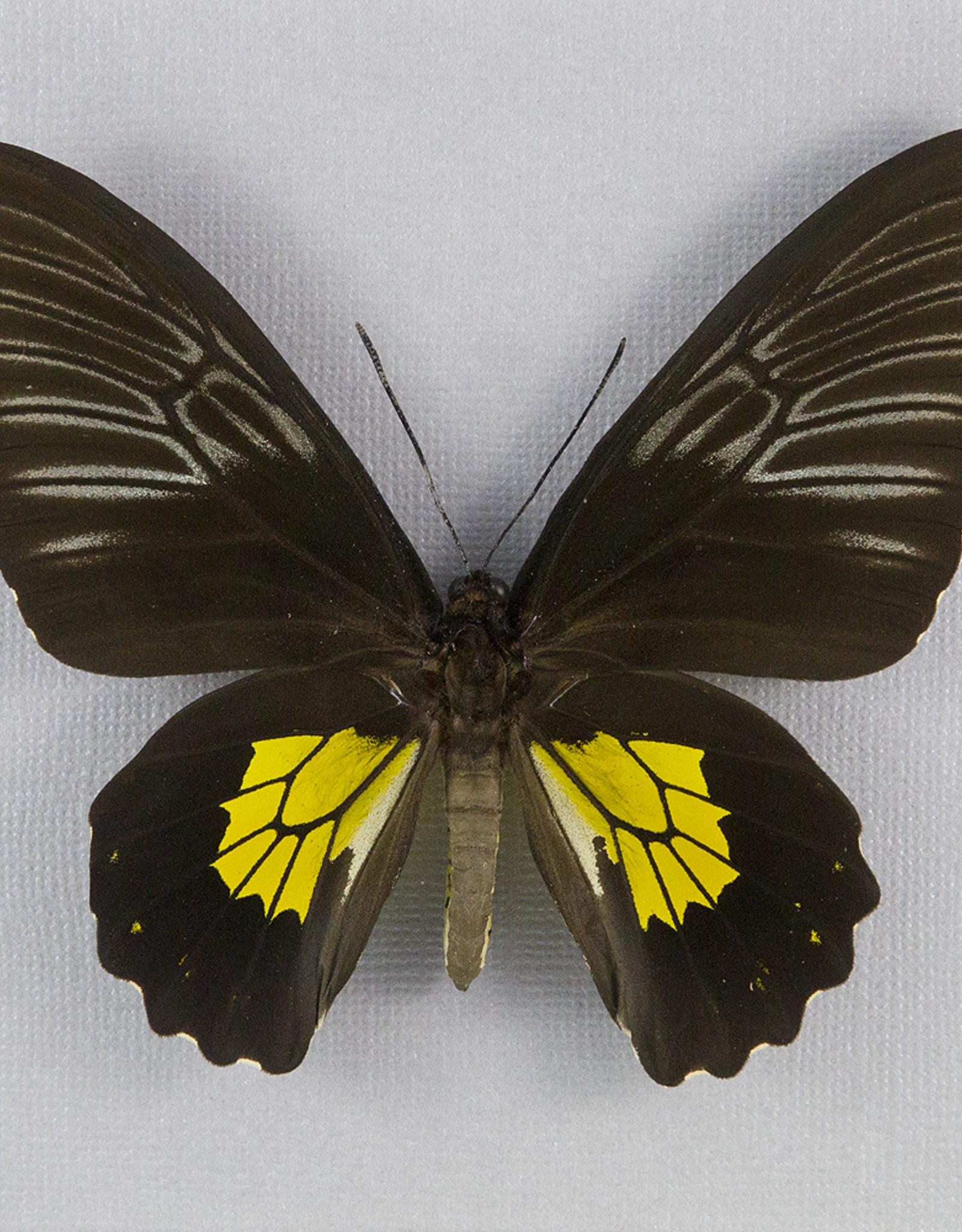Troides rhadamantus F A1 Philippines