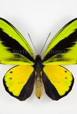 Ornithoptera goliath samson (joycei) PAIR A1 Indonesia