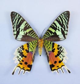 Urania (Chrysiridia) ryphaeus M A1 Madagascar