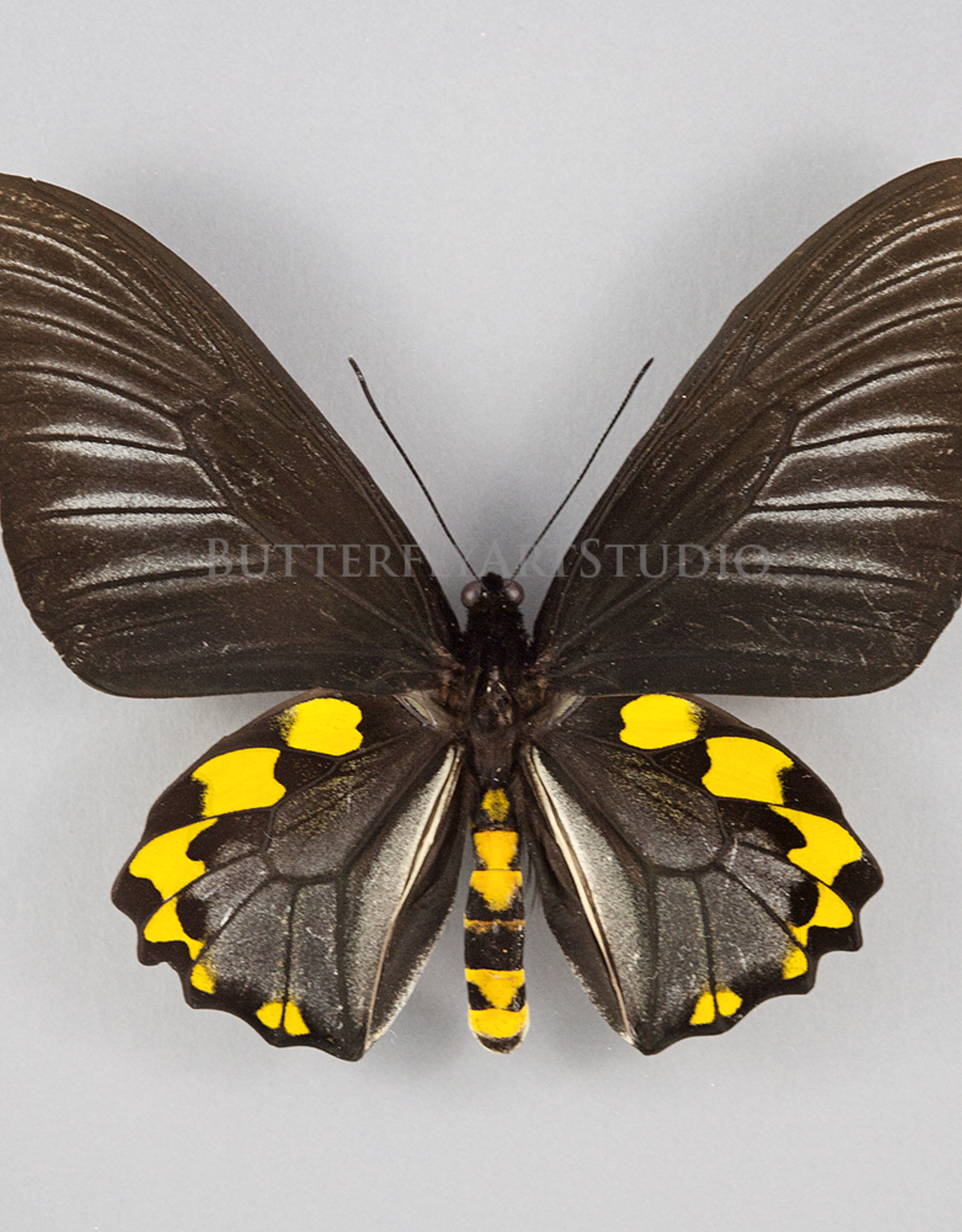 Troides hypolitus ssp PAIR A1 Indonesia