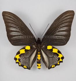 Troides hypolitus ssp PAIR A1 Indonesia