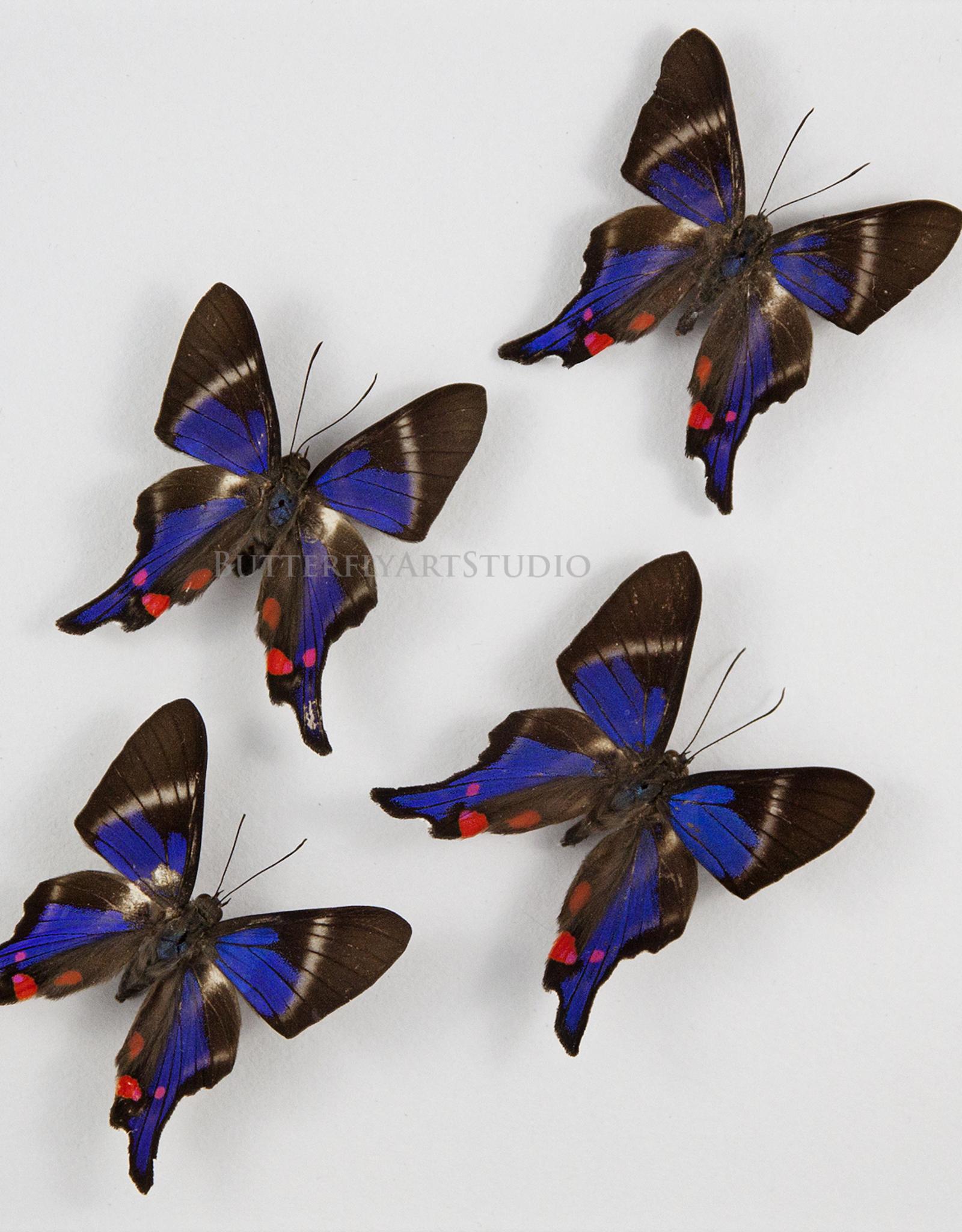 Rhetus periander M A1 Peru