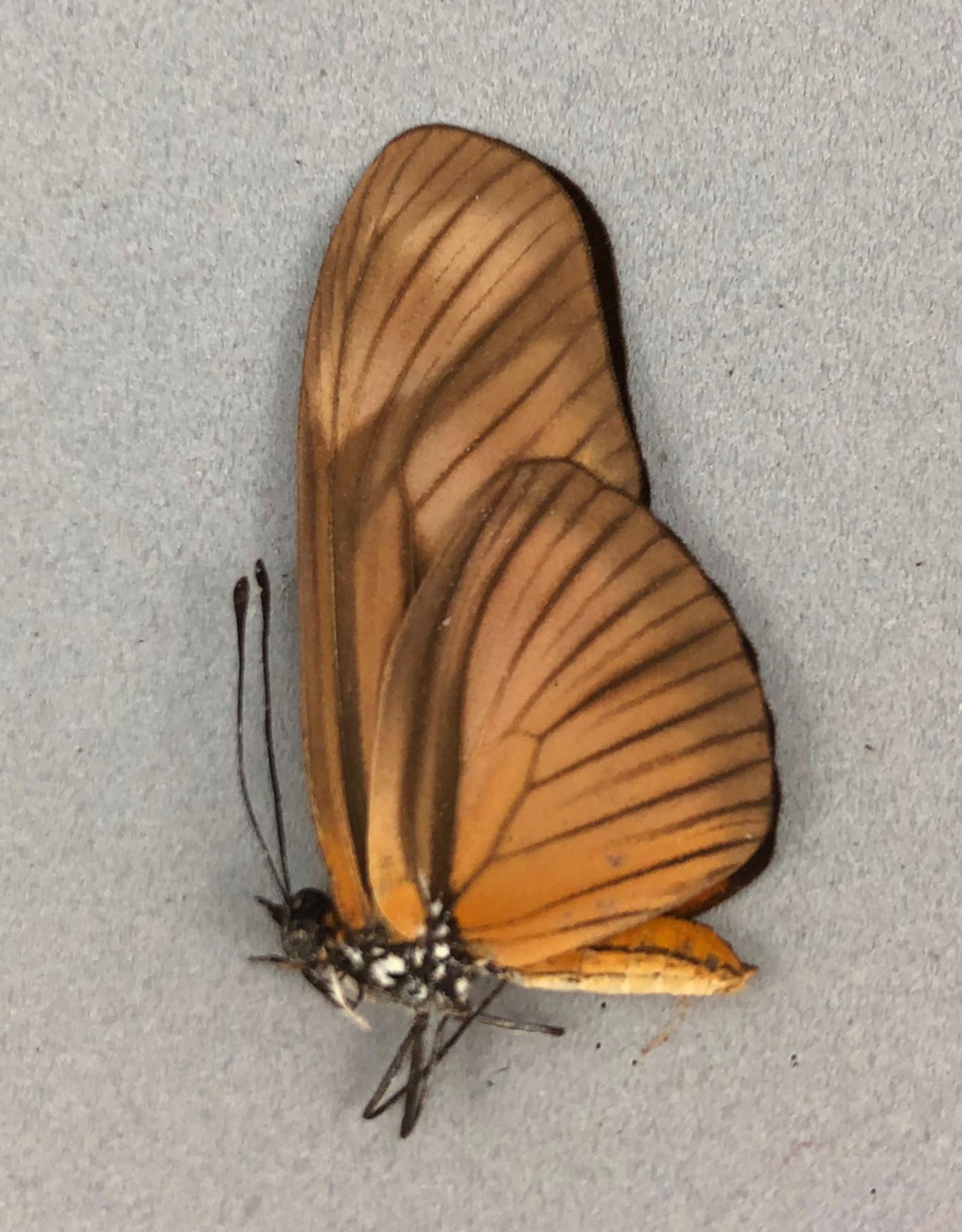 Eueides aliphera = libitina M A1 Peru