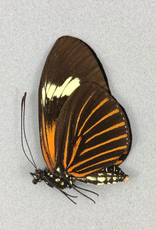 Heliconius xanthocles f. melior M A1 Peru