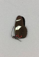 Heliconius leucadia f. pseudorhea M A1 Peru