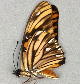 Agraulis vanillae f. maculosa M A1 Peru