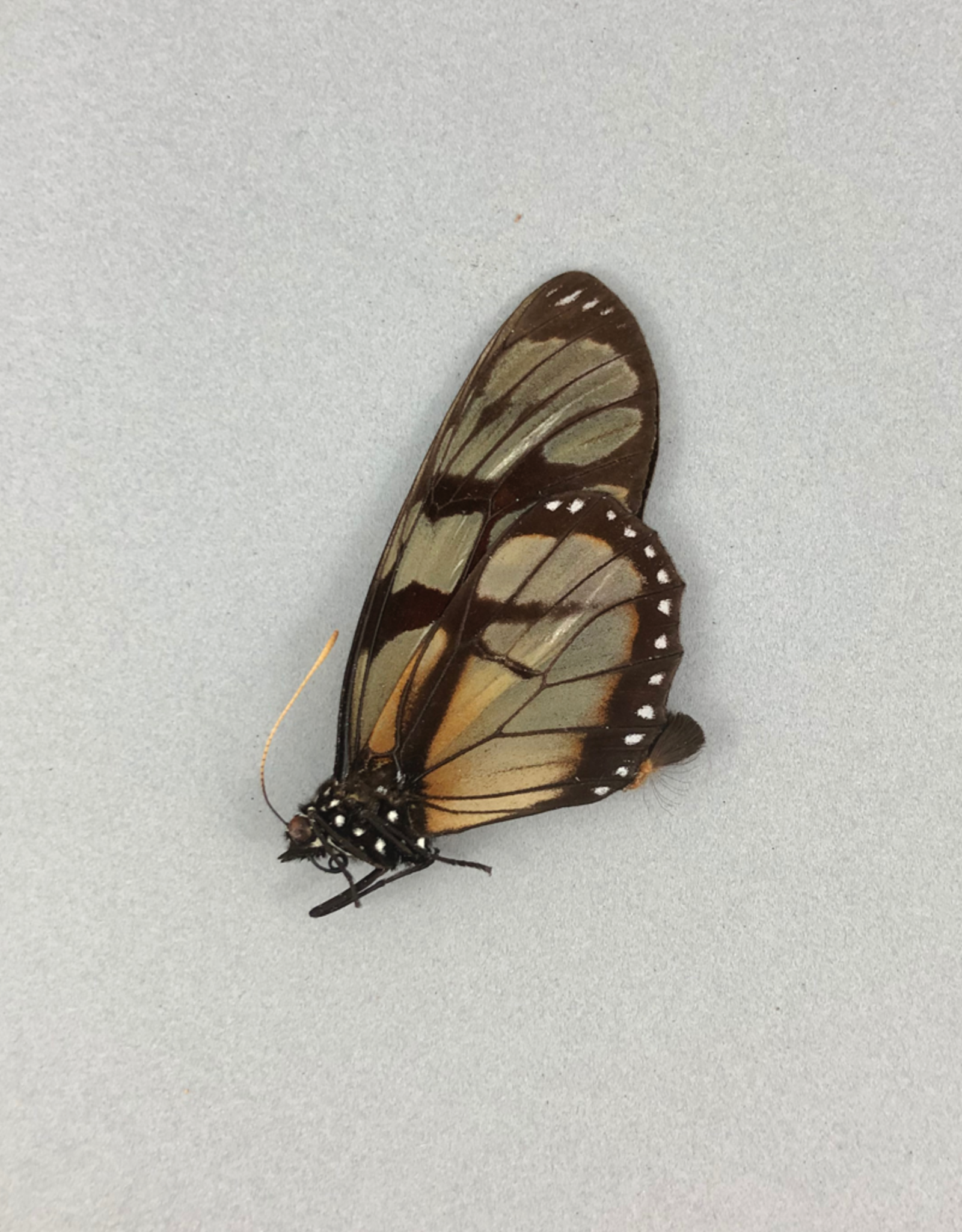 Ituna ilione lamira f. decolorata M A1 Peru