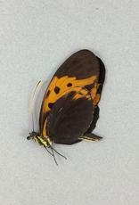 Heliconius numata f. bicoloratus M A1 Peru