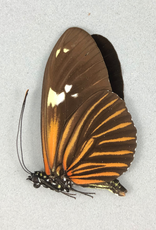 Heliconius burneyi f. huebreri M A1 Peru