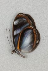 Oleria enania M A1 Peru