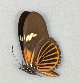 Eueides tales f. franciscus M A1 Peru
