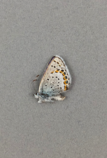 Lycaeides melissa M A1 Canada