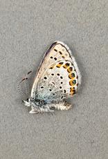 Lycaeides melissa PAIR A1 Canada