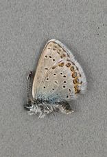 Lycaeides idas alaskensis M A1 Canada