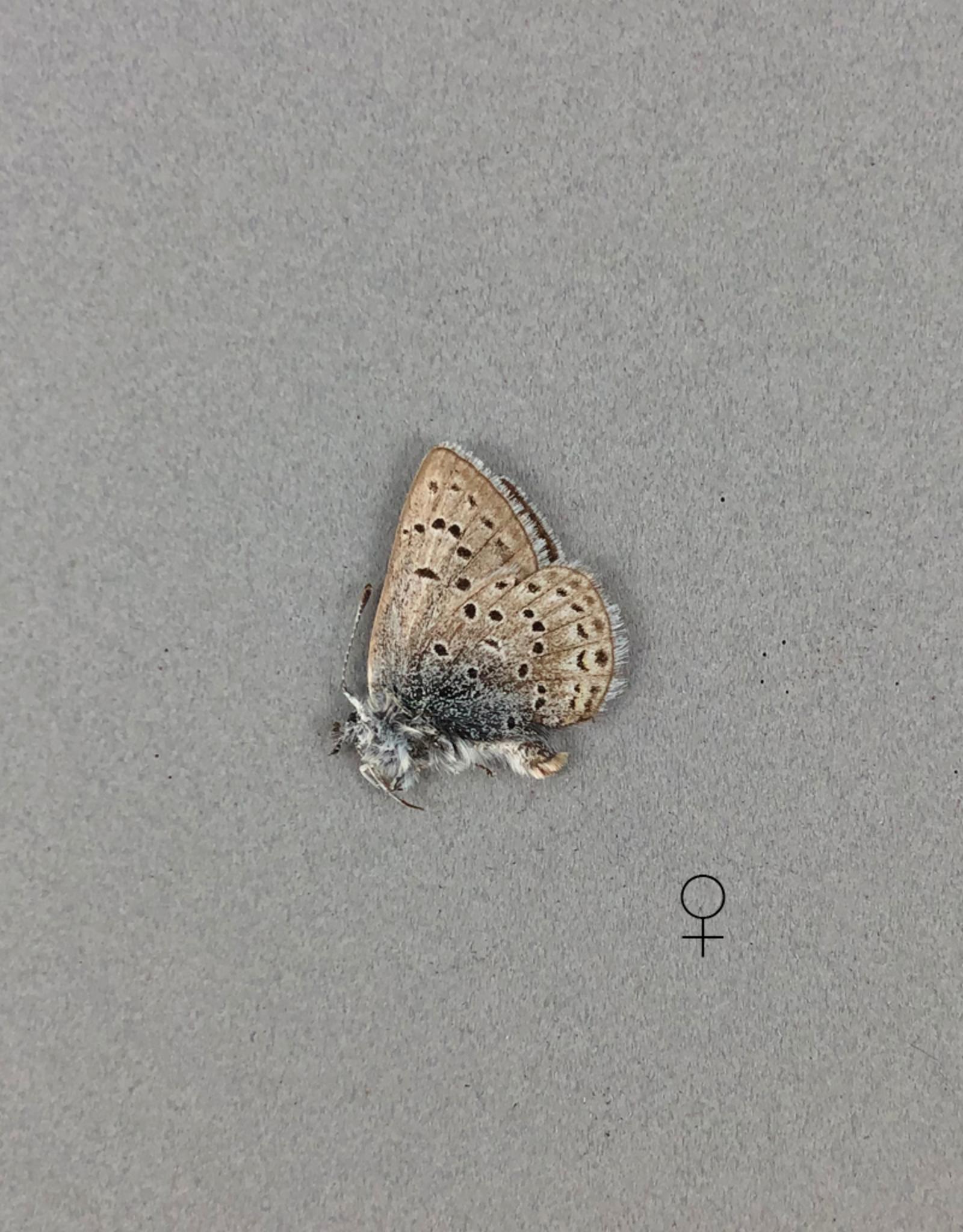 Lycaeides idas alaskensis PAIR A1 Canada