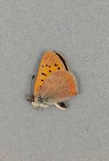 Lycaena dorcus arcticus M A1 Canada