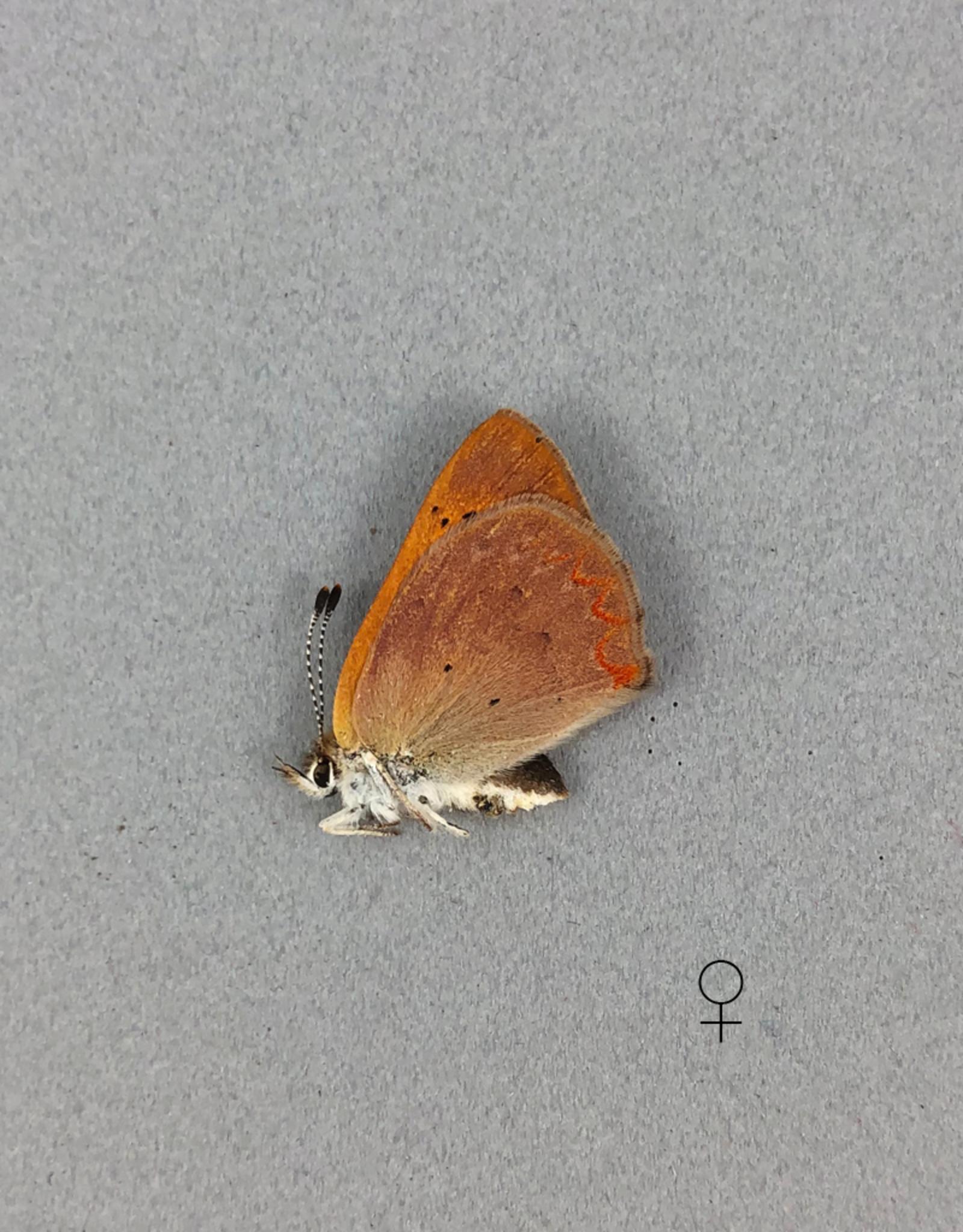 Lycaena dorcus arcticus PAIR A1 Canada