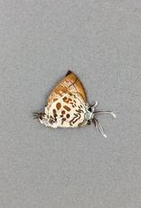 Drupudia ravindra sumptuosa M A1/A1- Indonesia