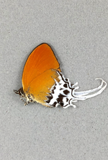 Eooxylides tharis ssp. M A1/A1- Indonesia