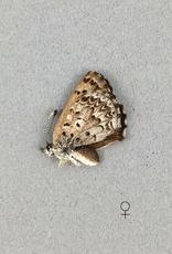 Lycaena mariposa penroseae F A1 Canada