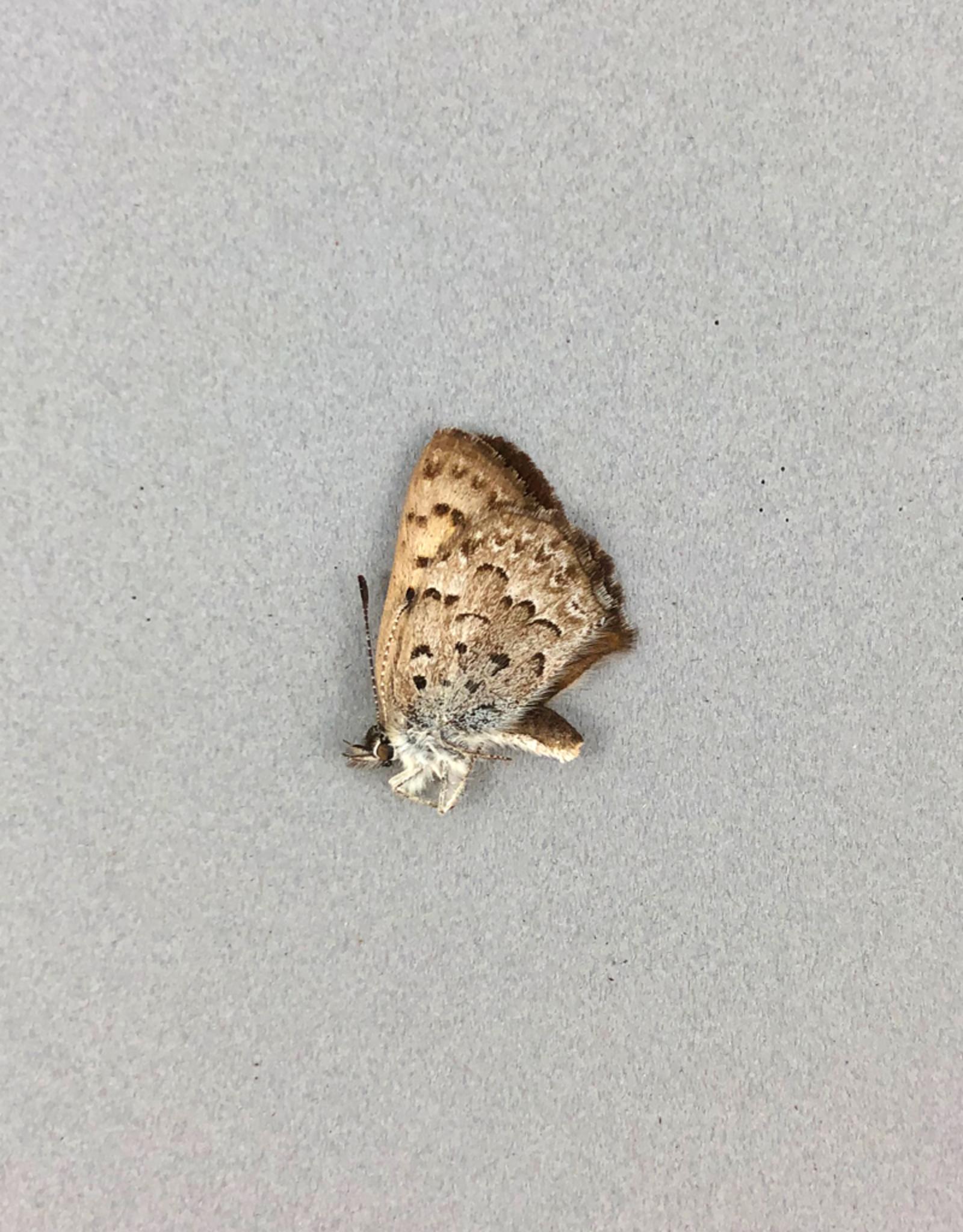 Lycaena mariposa penroseae PAIR A1 Canada