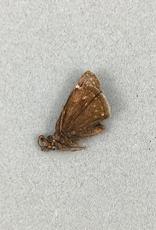 Erynnis persius borealis M A1 Canada