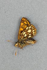 Carterocephalus palaemon mandan M A1 Canada