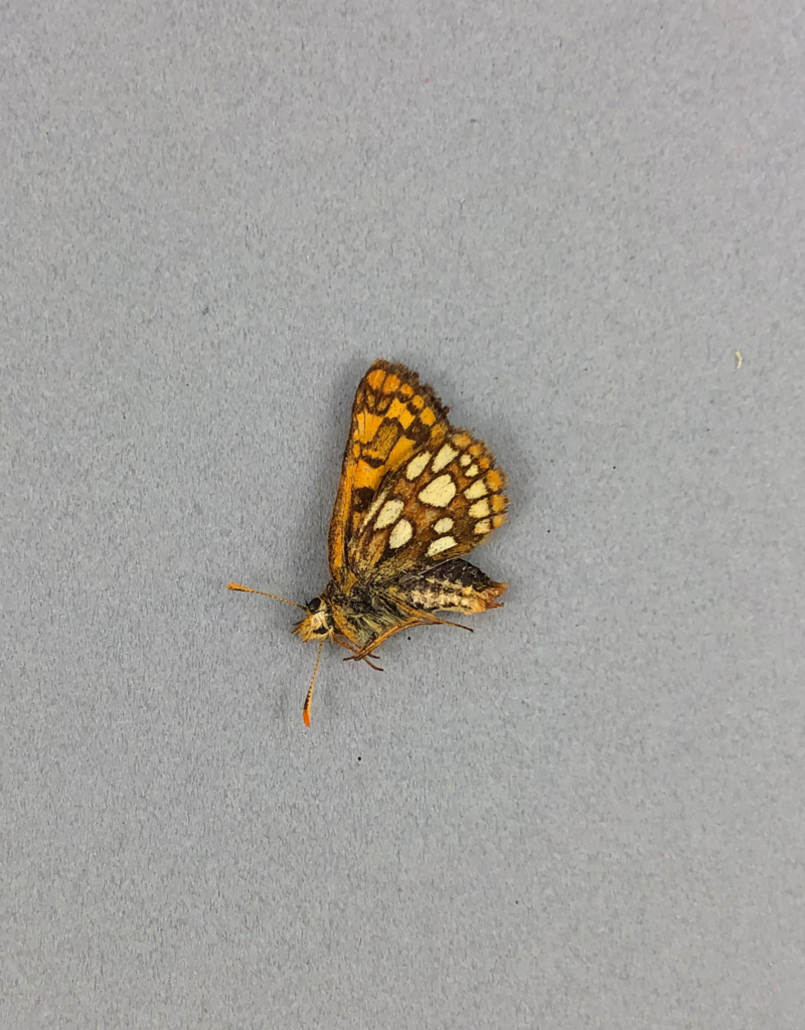 Carterocephalus palaemon mandan M A1- Canada