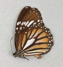 Danaus gentutia conspicua M A1/A1- Indonesia