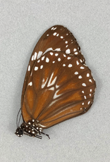 Danaus philene bonguensis M A1/A1- PNG